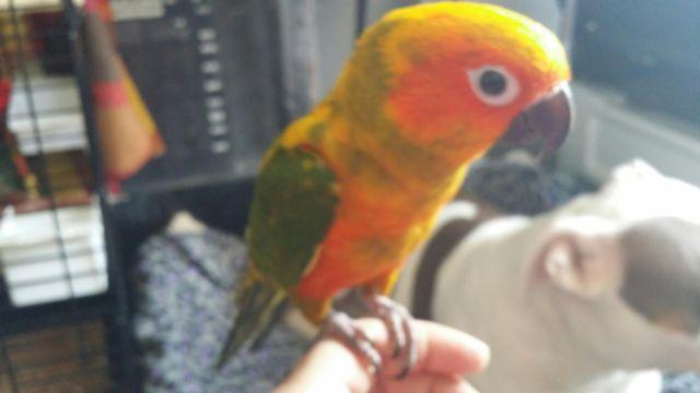 5 Month Old Sun Conure Parrot For Sale In Jacksonville