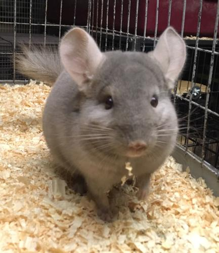 Chinchilla For Sale >> Chinchillas For Sale In Indiana Classifieds Buy And Sell