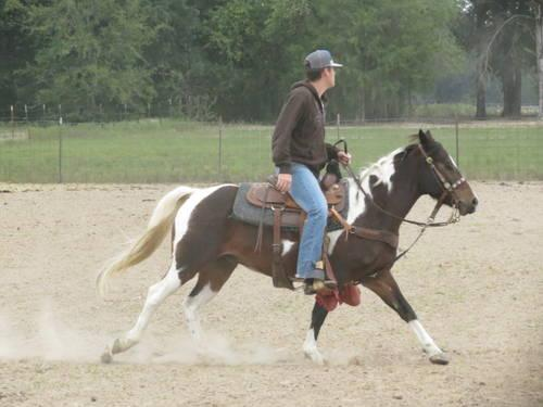 5 year old Paint Gelding Roping horse