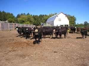 50 black cows, Also 43 bred heifers (Mora )