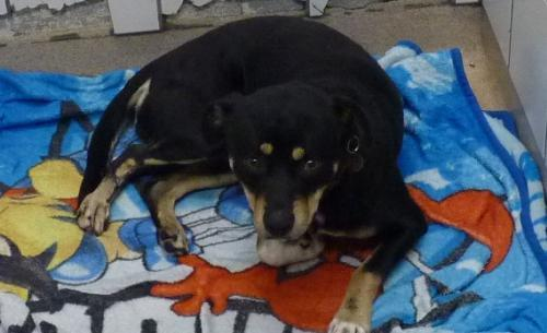 53972 Imagni Rottweiler Young Adoption Rescue For Sale In Sonora