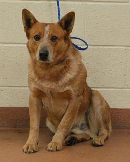 56897 Archie Australian Cattle Dog Adult Male