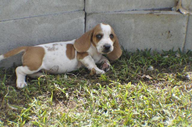 6 Basset Hound Pups 6 Weeks Old Ready For A Home Family Owned