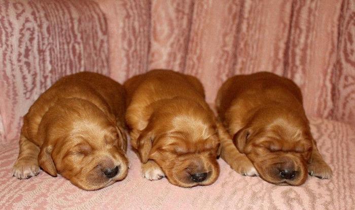 6 BEAUTIFUL Golden Retriever Puppies in Okotoks