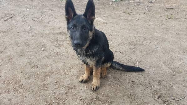 6 month Female German Shepherd Puppy - Schutzhund & IPO,V&VA