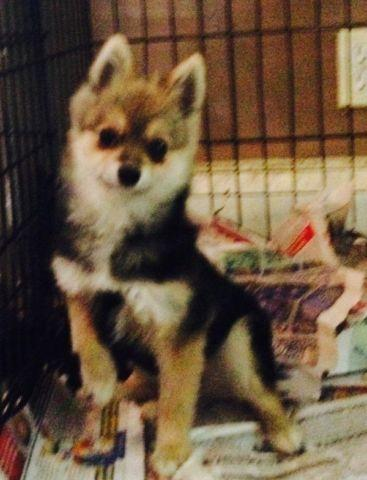 6 month old female pomchi