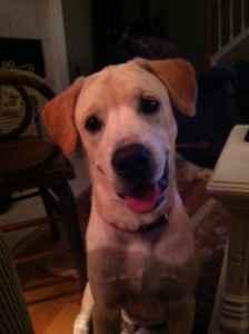 6 Month Old Lab Puppy Brunswick Ga For Sale In Brunswick Georgia