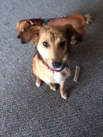 6 Month Old Sheltie/shep mix , female , very sweet