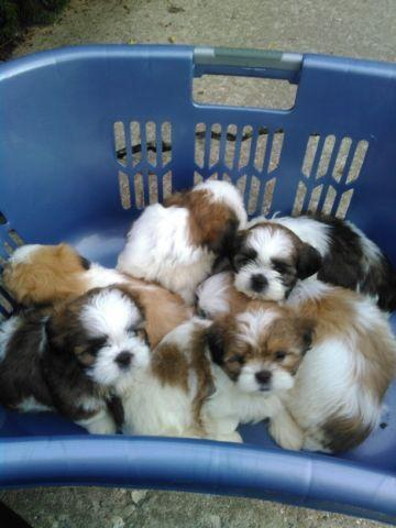 6 Shih-tzu puppies to choose from