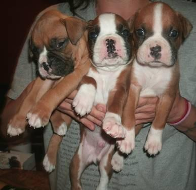 6 Week Old AKC Boxer Puppies