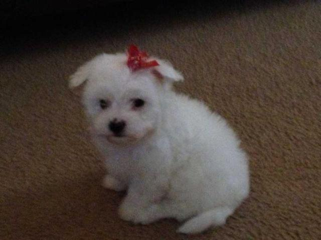 6 week old CKC Maltese...
