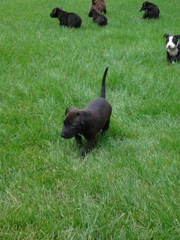 6 Week Old Pit Mixed Puppies For Sale In Brighton
