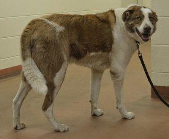 62295 Charlie Border Collie Adult Male
