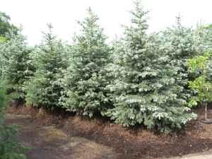 7 8 Foot Tall Baby Blue Eyes Spruce Freeport For Sale