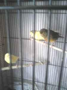 7 singing canary birds - $50 (st croix area)