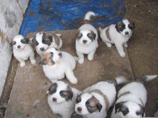 7 Wk Old St Bernard Great Pyrenees Cross Puppies For Sale