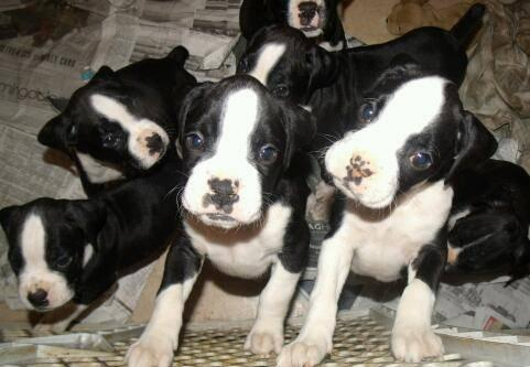 Black white boxer puppies sale