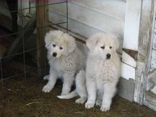 8 Week Old 58 Great Pyrenees 38 Maremma Sheepdog Pups F And M