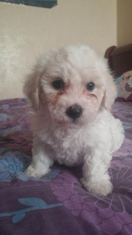 8 Week Old Adorable Bichon Frisetoy Poodle Puppy For Sale In
