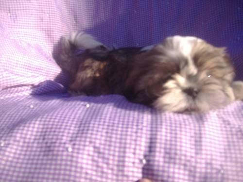 full blooded shih tzu 8 week old adorable full blooded male shih tzu for sale in 219