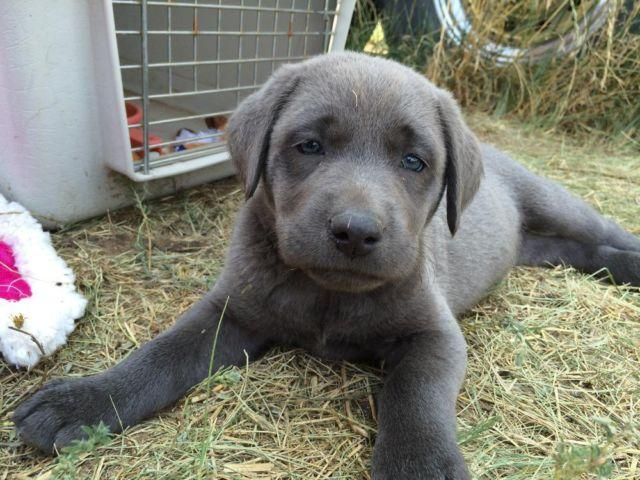 8 week Old AKC Yellow and Charcoal Labrador puppies