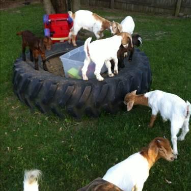 8 week old boer goats for sale