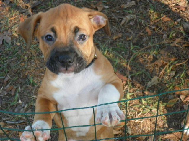 8 week old Boxer/Rottweiler puppies