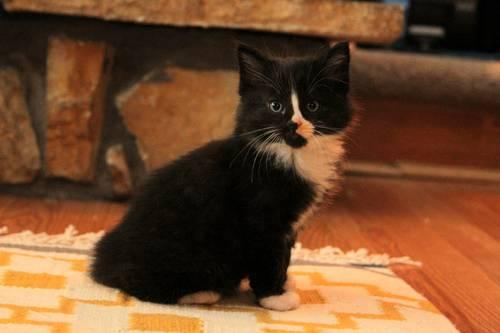 8 week old manx kittens for Sale in Kalama, Washington Classified