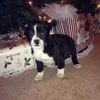 8 Week Old Pitbull Puppies For Sale In Pueblo Colorado Classified