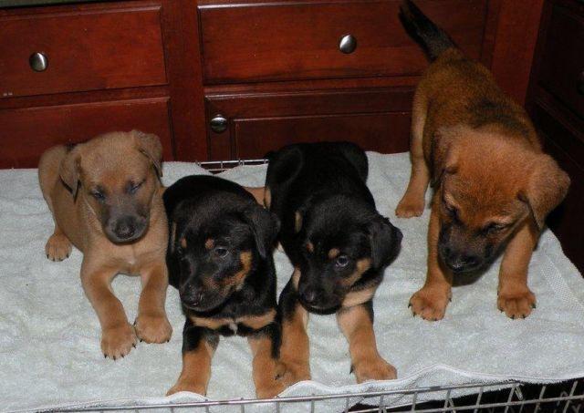 8 Weeks Old Doberman Pincher Shepherd Husky Mix Puppies Female Males