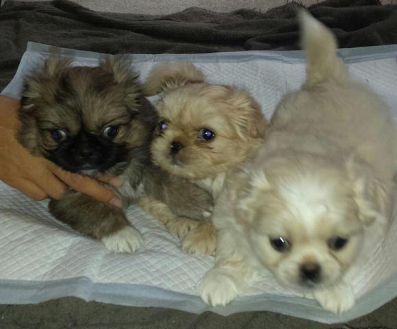 shih tzu puppies 8 weeks 8 weeks old pekingese shih tzu puppies for sale in elk 8257