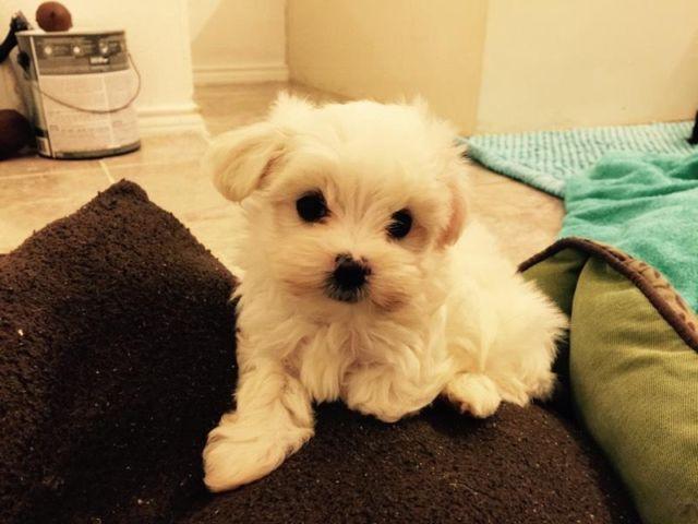 Teacup Maltese Puppies Seek Loving Home Shreveport For Sale