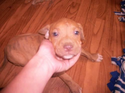 8 Wk Red Nose Pitbull Pups Must Go For Sale In Delano Tennessee