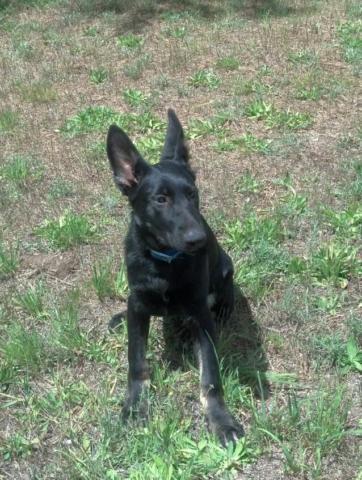 9 Month Old Black German Shepherd For Sale In Athol Idaho