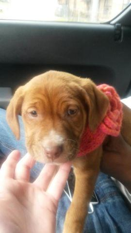 9 Week Female Lab Pitbull Mix Puppy For Sale In Lewisville Texas