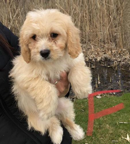 cavachon puppies for sale in michigan
