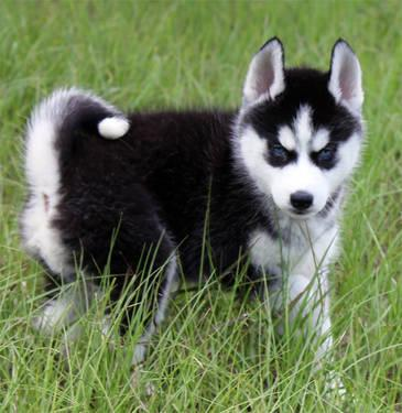 9 Week Old Siberian Husky Puppies Ready To Go For Sale