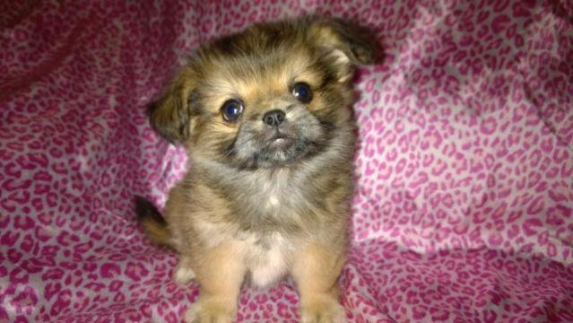9 Week Pekingese Chihuahua Female Mix For Sale In Kelso
