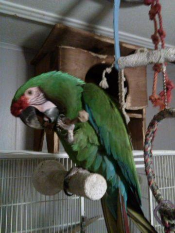 9 year old Military Macaw