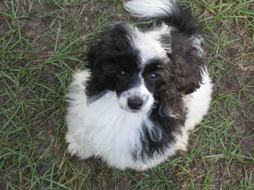 A Black & White Parti Maltipoo (Maltese/Poodle mix) male ...