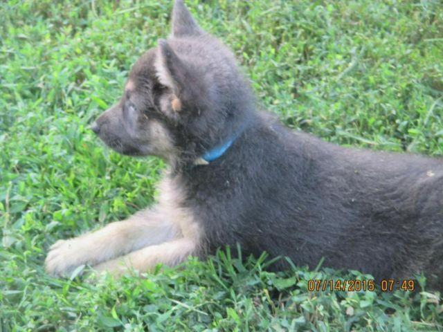 German Shepherd Blue And Tan A.C.A. Registered Blue...