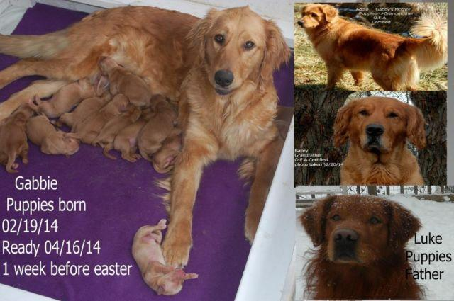 A K C Dark Red Golden Retriever For Sale In Saint Clairsville Ohio