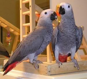 african grey parrot for sale in Florida Classifieds & Buy