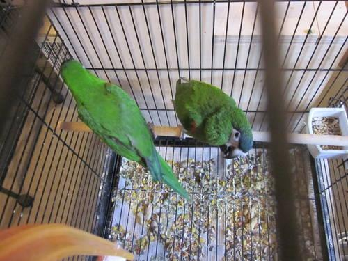 a proven breeding pair of Hahns macaw for sale