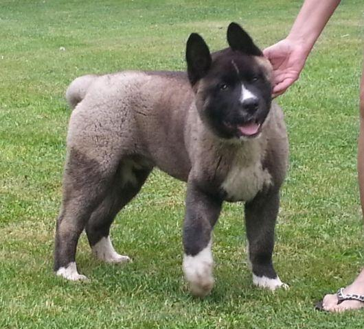 Huskita Puppies Pets And Animals For Sale In New York Puppy And