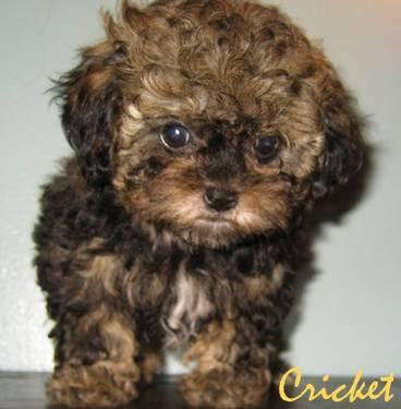 A Shih Poo Poo Is The Puppy For You Shih Poo Amp Toy