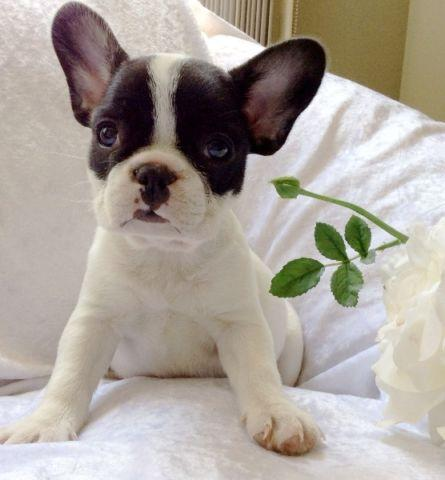 french bulldog for sale in michigan
