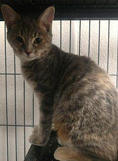 Abby Domestic Shorthair Kitten Female