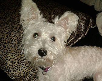 ABBY Westie, West Highland White Terrier Puppy Female