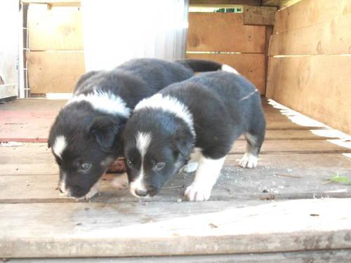ABCA Border collie puppies